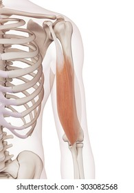 medically accurate muscle illustration of the biceps brachii short head