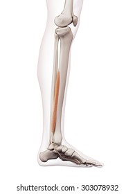 medically accurate muscle illustration of the flexor digitorum longus