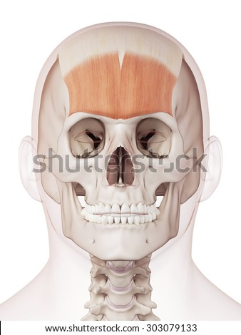 Royalty Free Stock Illustration of Medically Accurate Muscle ...