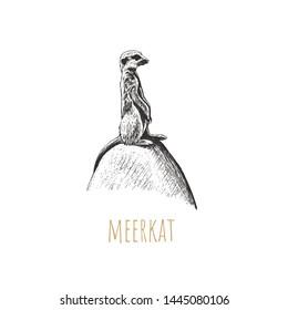 Meerkat illustration. Meerkat on stone hand drawing