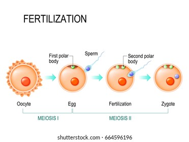 Meiosis and fertilization. The different stages of meiosis in mammalian oocytes