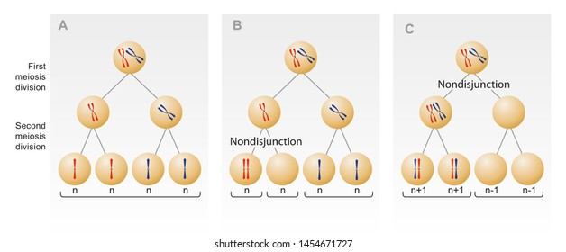 Meiotic nondisjunction. The failure of one or more pairs of homologous chromosomes to separate normally during nuclear division