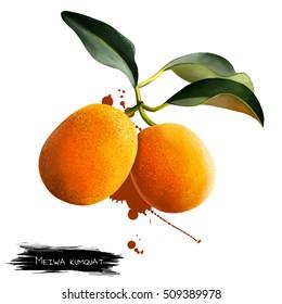 Meiwa kumquat isolated on white. Kumquats, cumquats small fruit-bearing tree in flowering plant family Rutaceae. Round kumquat also called Marumi kumquat or Morgani kumquat. Digital art. Watercolor