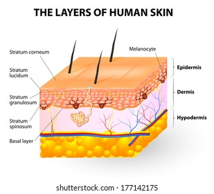 Melanocyte and melanin. layers of the human skin.