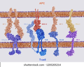 Membrane proteins involved in  the activation and inhibition of the immune system through the interaction of antigen presenting cells and T-cells. 3d rendering