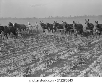 Men and mules cultivating cotton at the Lake Dick Cooperative Association farm. June 1938 photo by Dorothea Lange.