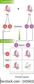 Mendel Genetics, Punnett squares predict the offspring of genetic crosses