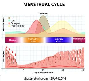 Menstrual cycle: Menstruation, Follicle phase, Ovulation and Corpus luteum phase. endometrium and hormone