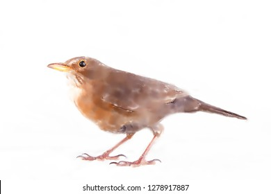 Merle as the most common inhabitant of European forests and parks in the cities. Eurasian blackbird (Turdus merula) female. Watercolor picture of merle, on white background