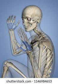 Metacarpus, Human Skeleton, 3D Model