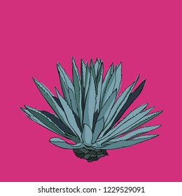 Mexican agave illustration