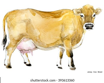 Milking cow watercolor illustration. Jersey breed