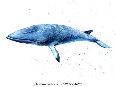 Minke whale watercolor hand-draw illustration.