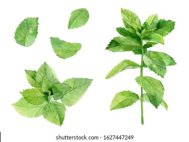 Mint leaves. Herbal plant set. Watercolour illustration isolated on white background.