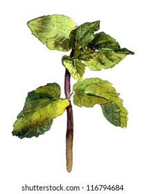 Mint plant - green herb and spice. Watercolor