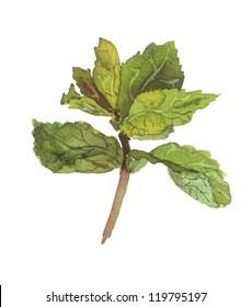 Mint plant. Watercolor