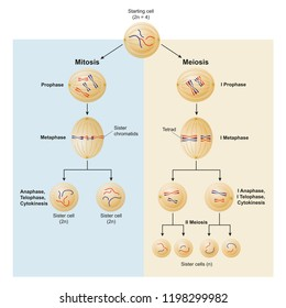 Mitosis and meiosis differences