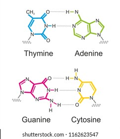 The molecular formula of deoxyribonucleic acid (DNA) bases: thymine, cytosine, adenine and guanine.