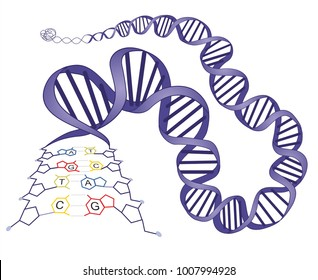 Molecular structure of deoxyribonucleic acid (DNA) bases guanine - cytosine and  thymine – adenine.