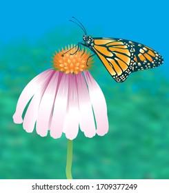 Monarch Butterfly 1 feeding on a eucanatia flower Extra version