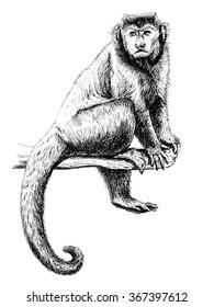 Monkey capuchin drawing (Cebus capucinus)