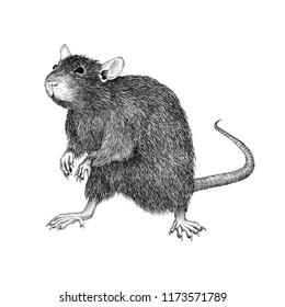 Monochrome Hand Drawn Illustration of a Rat Standing on Two Legs Isolated on White Background