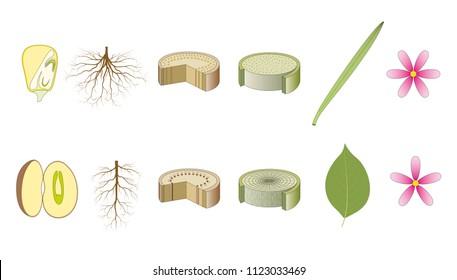 Monocot and dicot plants