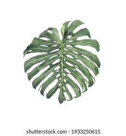 Monstera deliciosa leaf in watercolor