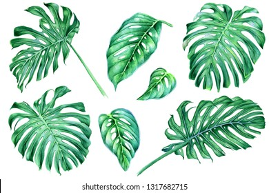 Monstera leaves isolated on white background. Set of watercolor hand-drawn elements.