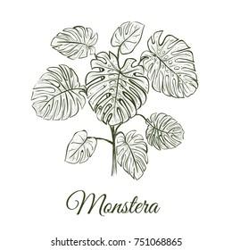Monstera plant skech. Monstera hand drawing. Araceae illustration
