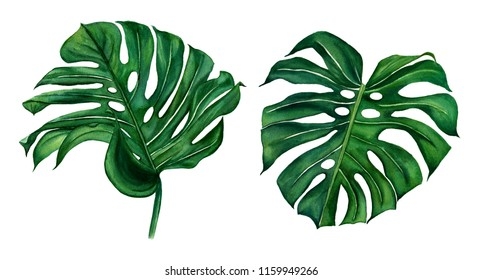 Monstera traopical exotic plant green leaf trendy hawaii illustration isolated on white background.