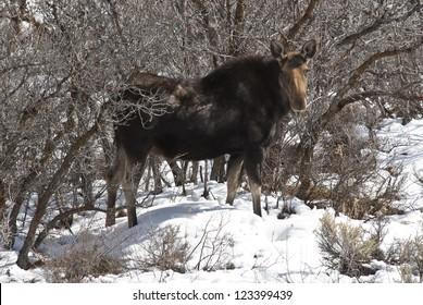 Moose Park City Utah