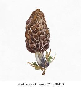 Morel mushroom  isolated on white background. Watercolor illustration.
