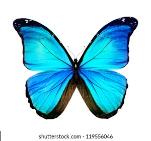 Morpho turquoise butterfly , isolated on white