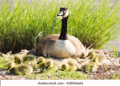 A mother Canada goose is sitting on her nest watching and protecting her newborn baby goslings. These goslings are one day old. This is computer generated art from a photograph.
