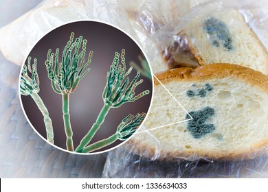 Mouldy bread and close-up view of Penicillium fungi, the causative agent of bread mould, photo and 3D illustration