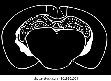 Mouse Brain Slice Section Hippocampus in black and white