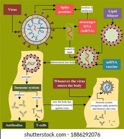 mRNA vaccine mechanism in relation to human body