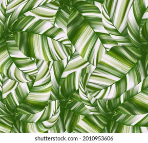Musa Florida Variegated on background in illustration style design for decorations