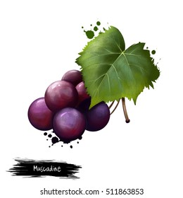 Muscadine isolated on white. Muscadine grapes are rich sources of polyphenols. Vitis rotundifolia, grapevine species native to southeastern and south-central US. Digital art illustration. Watercolor