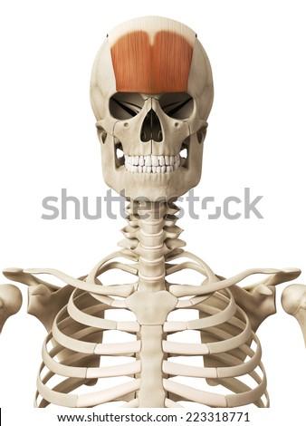 muscle anatomy frontalis stock illustration 223318771 shutterstock