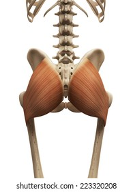 muscle anatomy - the gluteus maximus