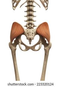 muscle anatomy - the gluteus medius