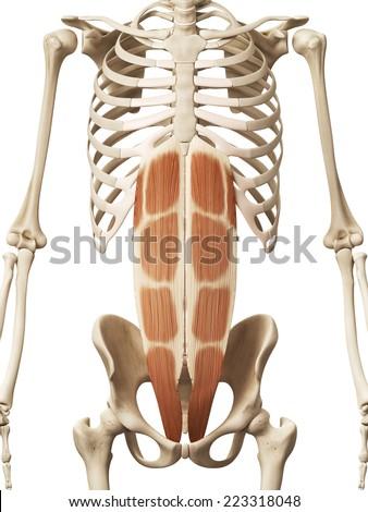 Muscle Anatomy Rectus Abdominis Stock Illustration 223318048