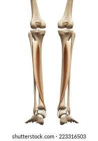 35 Tibialis Posterior Images
