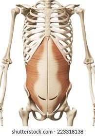 muscle anatomy - the transversus abdomini