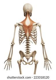 muscle anatomy - the trapezius