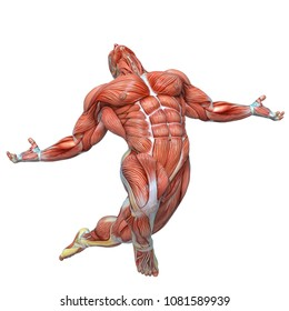 muscle man anatomy in an white background 3d illustration