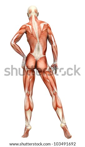 Muscle Woman Back View Stock Illustration 103491692 - Shutterstock