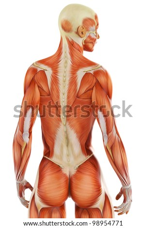 Muscle Woman Back View Close Stock Illustration - Royalty Free Stock ...